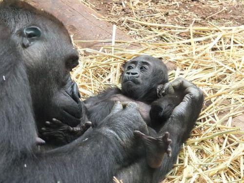 Reciclaje de móviles contra la extinción de gorilas